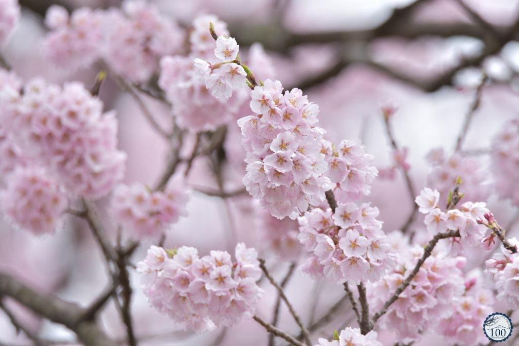 Nếu tưởng Sakura - hoa anh đào Nhật Bản chỉ có một loại thì bạn đã nhầm to rồi - Ảnh 8.