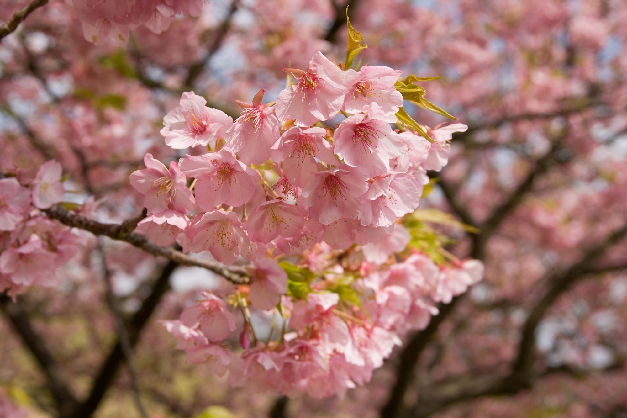 Nếu tưởng Sakura - hoa anh đào Nhật Bản chỉ có một loại thì bạn đã nhầm to rồi - Ảnh 2.