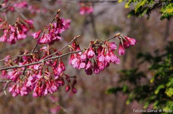 Nếu tưởng Sakura - hoa anh đào Nhật Bản chỉ có một loại thì bạn đã nhầm to rồi - Ảnh 9.