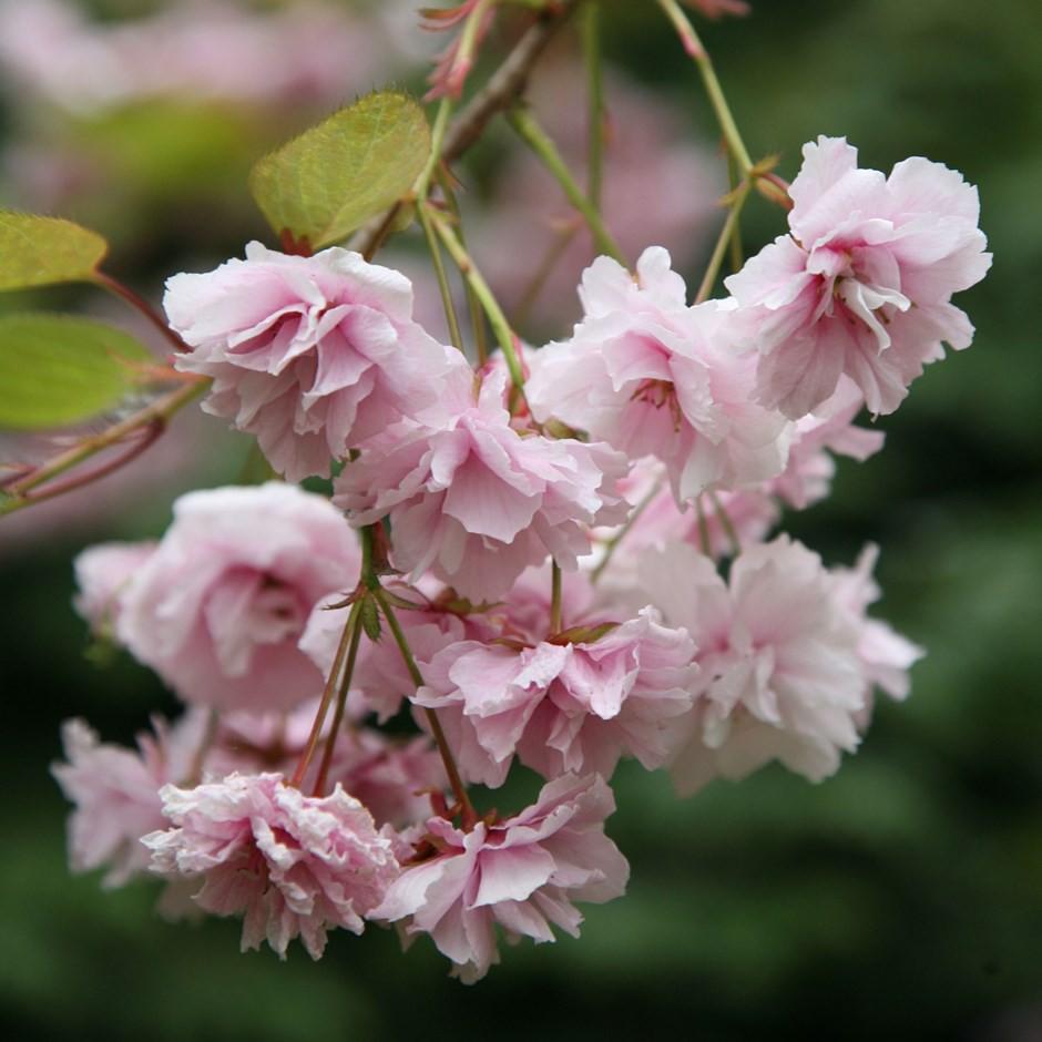 Nếu tưởng Sakura - hoa anh đào Nhật Bản chỉ có một loại thì bạn đã nhầm to rồi - Ảnh 5.