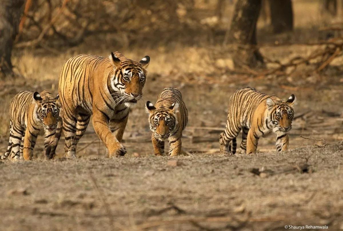 """Cuộc đời 19 năm lẫy lừng của """"nữ hoàng hổ"""" Machli: một mình giết cá sấu trưởng thành, mất hết răng nanh vẫn đánh bại hổ đực bảo vệ đàn con - Ảnh 3."""