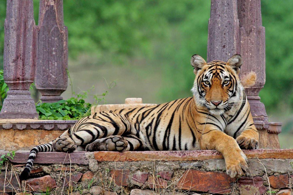 """Cuộc đời 19 năm lẫy lừng của """"nữ hoàng hổ"""" Machli: một mình giết cá sấu trưởng thành, mất hết răng nanh vẫn đánh bại hổ đực bảo vệ đàn con - Ảnh 1."""