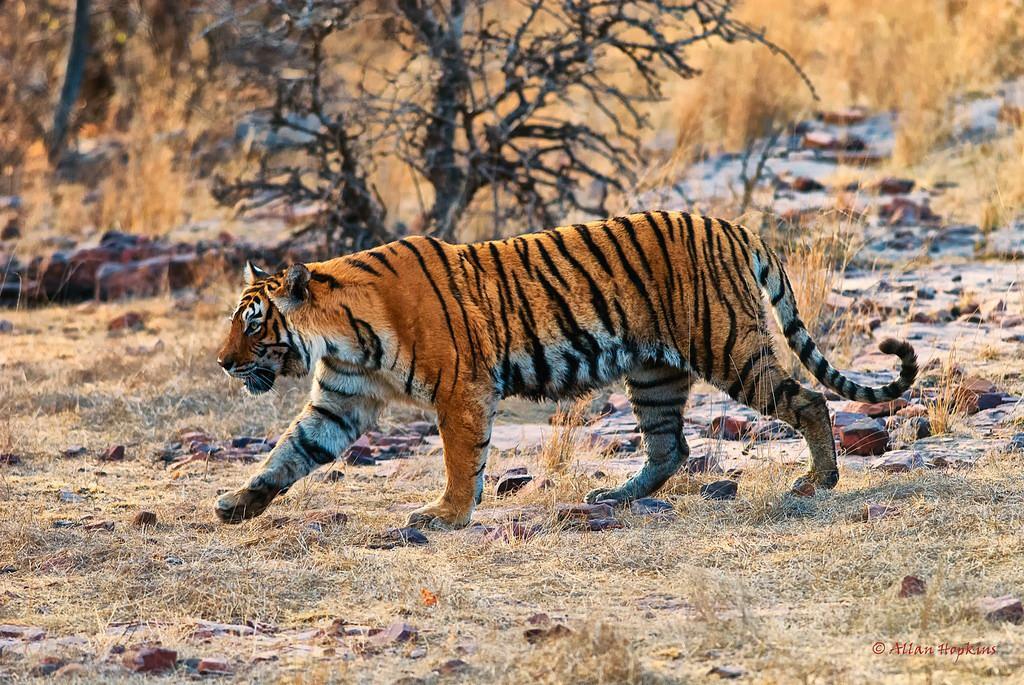 """Cuộc đời 19 năm lẫy lừng của """"nữ hoàng hổ"""" Machli: một mình giết cá sấu trưởng thành, mất hết răng nanh vẫn đánh bại hổ đực bảo vệ đàn con - Ảnh 2."""