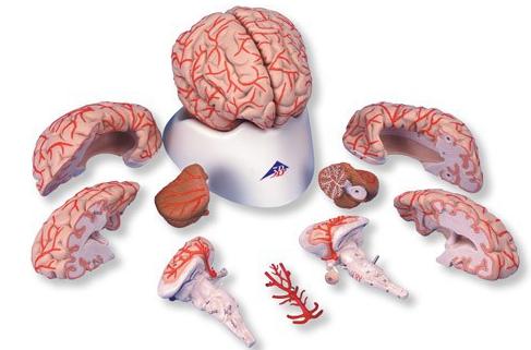 Nghiên cứu không cần thực hiện cũng đoán ra được: não người có nếp nhăn là vì con người thông minh - Ảnh 1.