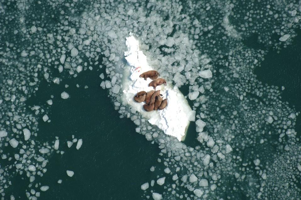 Mỗi năm lại có hàng chục nghìn con hải mã mắc kẹt trên bãi biển Alaska - lý do là gì? - Ảnh 2.