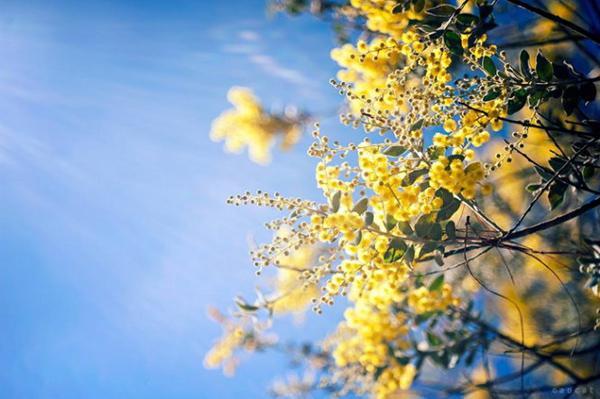 Loài hoa Mimosa