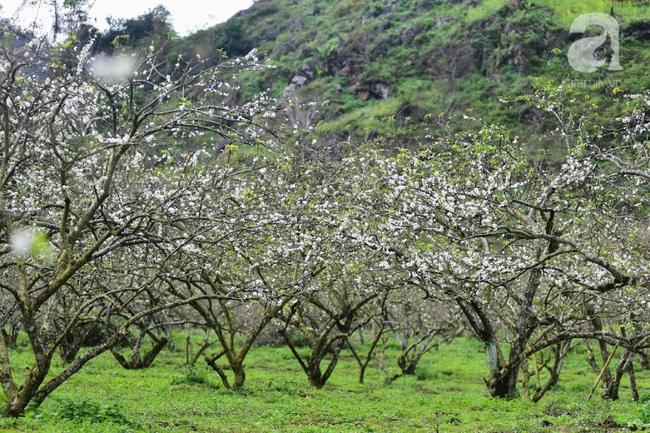 Ngược lên Mộc Châu tháng hai mùa xuân, ngắm hoa mận nở trắng trời - Ảnh 3.