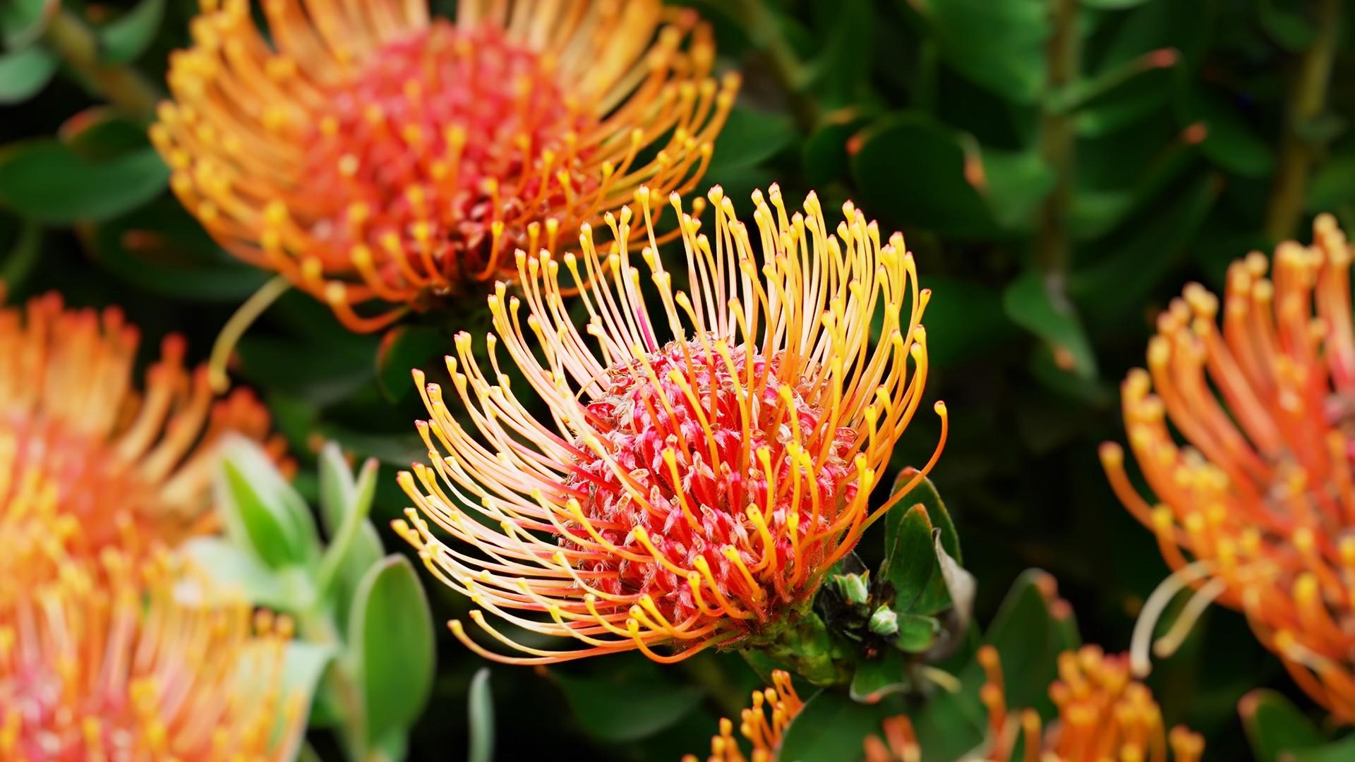 """Kinh ngạc trước """"Vương quốc Hoa"""" phải bị cháy rừng thì mới sống được của Nam Phi: Giàu thực vật gấp 3 lần Amazon ẩm ướt - Ảnh 4."""