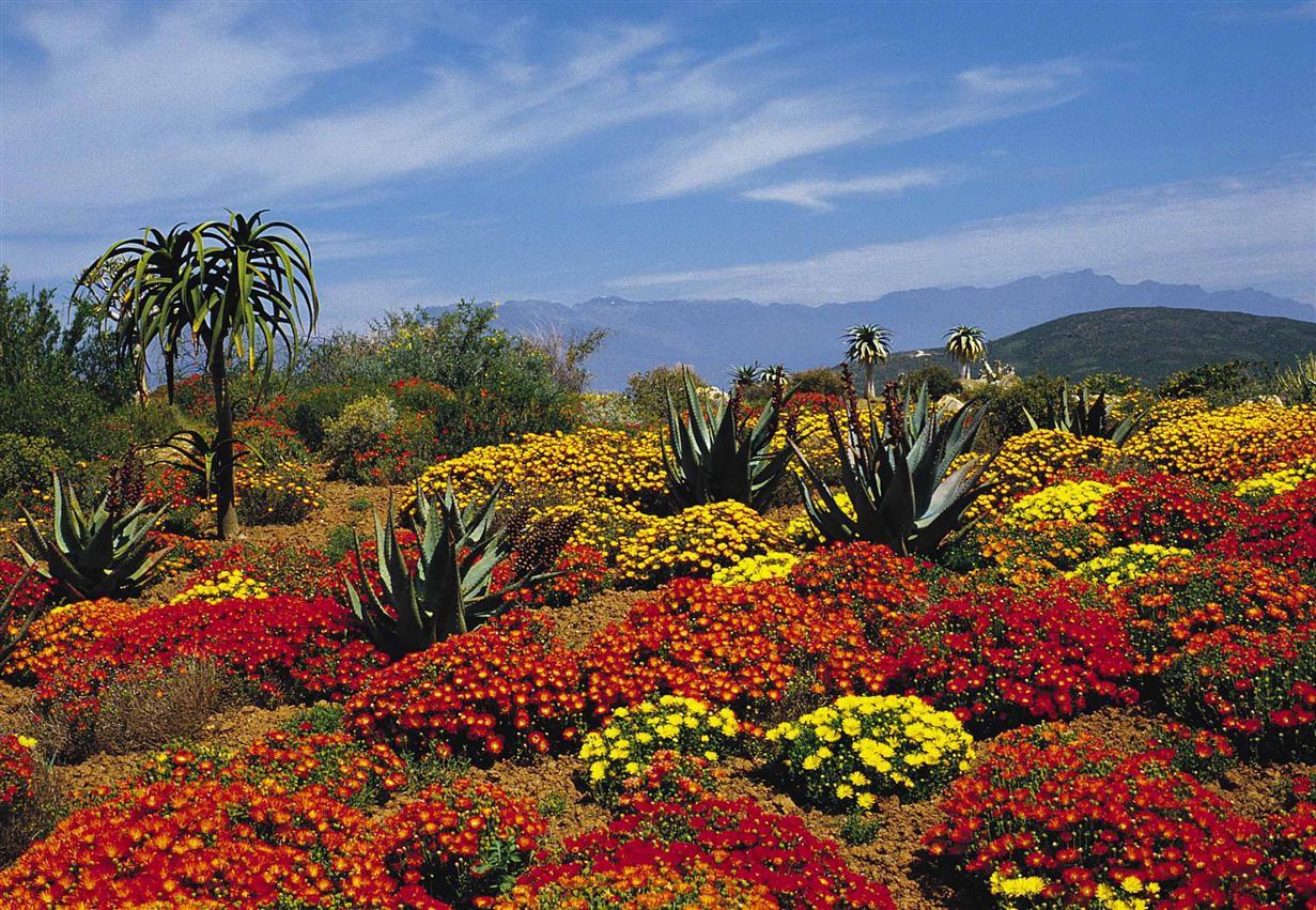 """Kinh ngạc trước """"Vương quốc Hoa"""" phải bị cháy rừng thì mới sống được của Nam Phi: Giàu thực vật gấp 3 lần Amazon ẩm ướt - Ảnh 2."""