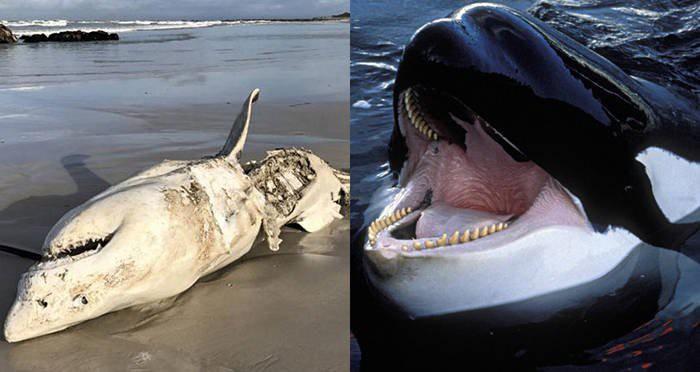 Tưởng đứng đầu chuỗi thức ăn nhưng cá mập trắng thực sự phải sợ hãi bỏ chạy trước loài vật này - Ảnh 4.