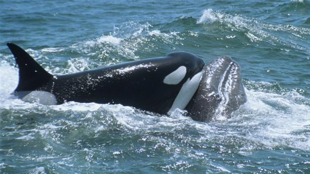 Tưởng đứng đầu chuỗi thức ăn nhưng cá mập trắng thực sự phải sợ hãi bỏ chạy trước loài vật này - Ảnh 2.