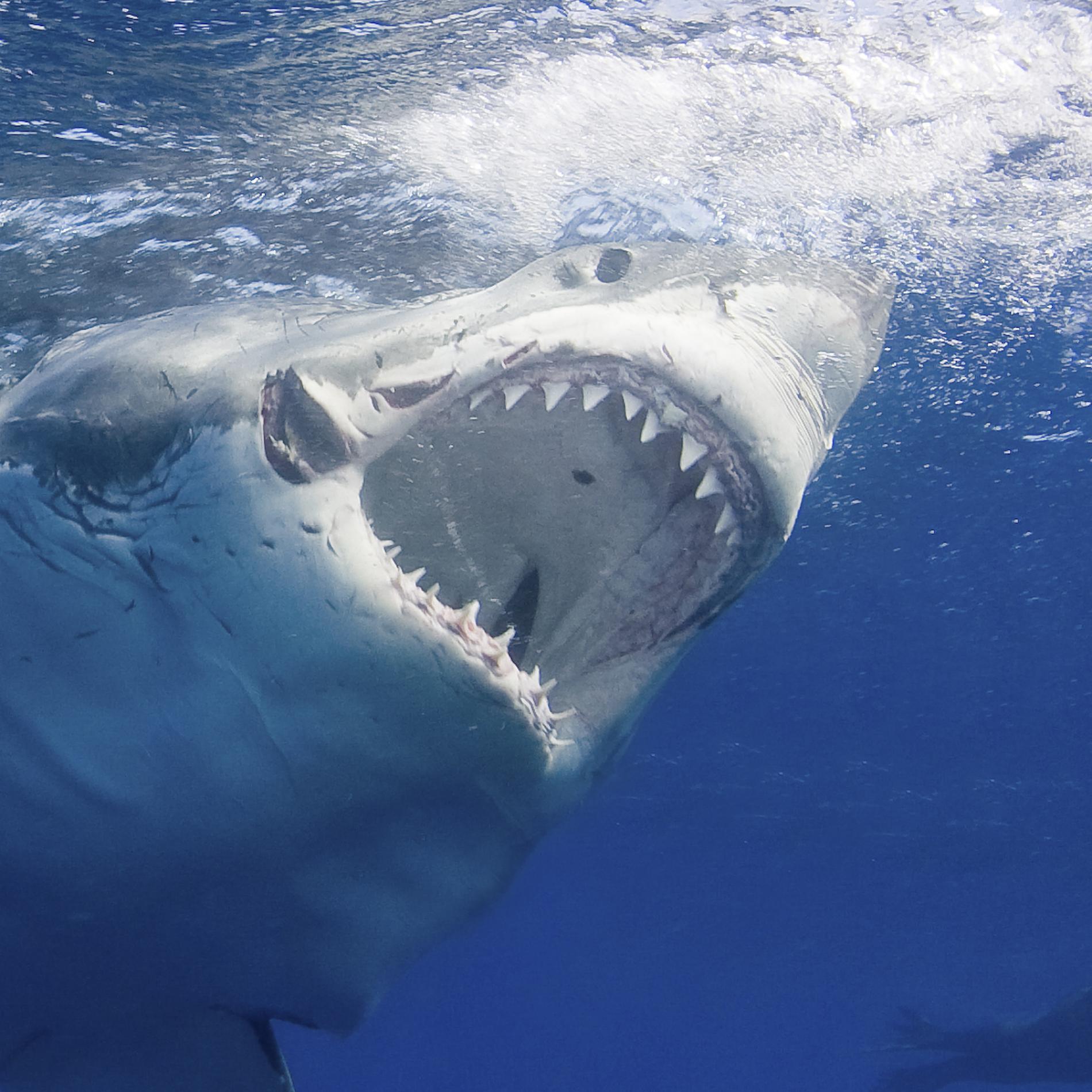 Tưởng đứng đầu chuỗi thức ăn nhưng cá mập trắng thực sự phải sợ hãi bỏ chạy trước loài vật này - Ảnh 1.