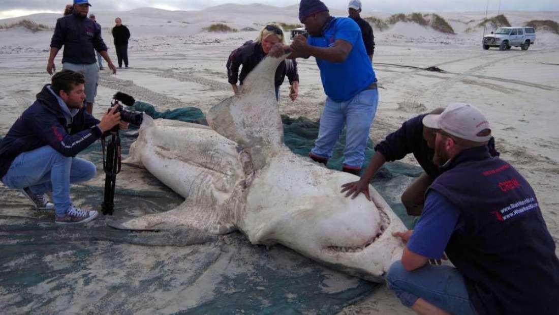 Tưởng đứng đầu chuỗi thức ăn nhưng cá mập trắng thực sự phải sợ hãi bỏ chạy trước loài vật này - Ảnh 5.