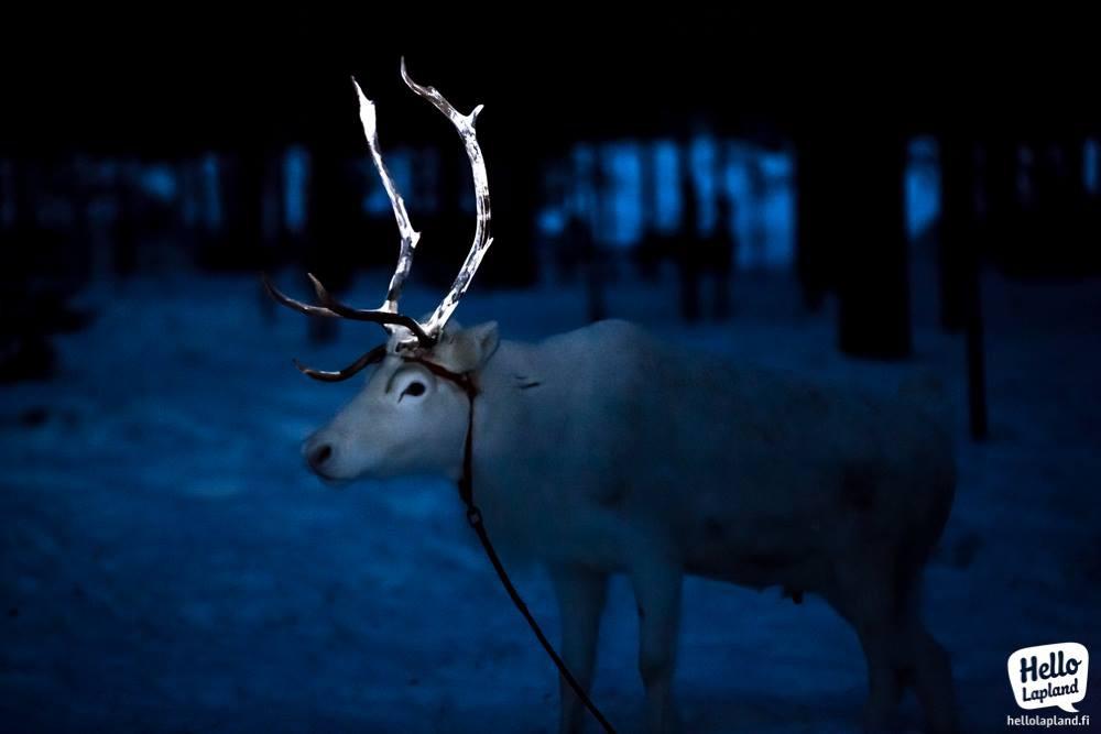 Tuần lộc ở quê hương ông già Noel có sừng phát sáng rực rỡ trong đêm và đây là lý do tại sao - Ảnh 1.