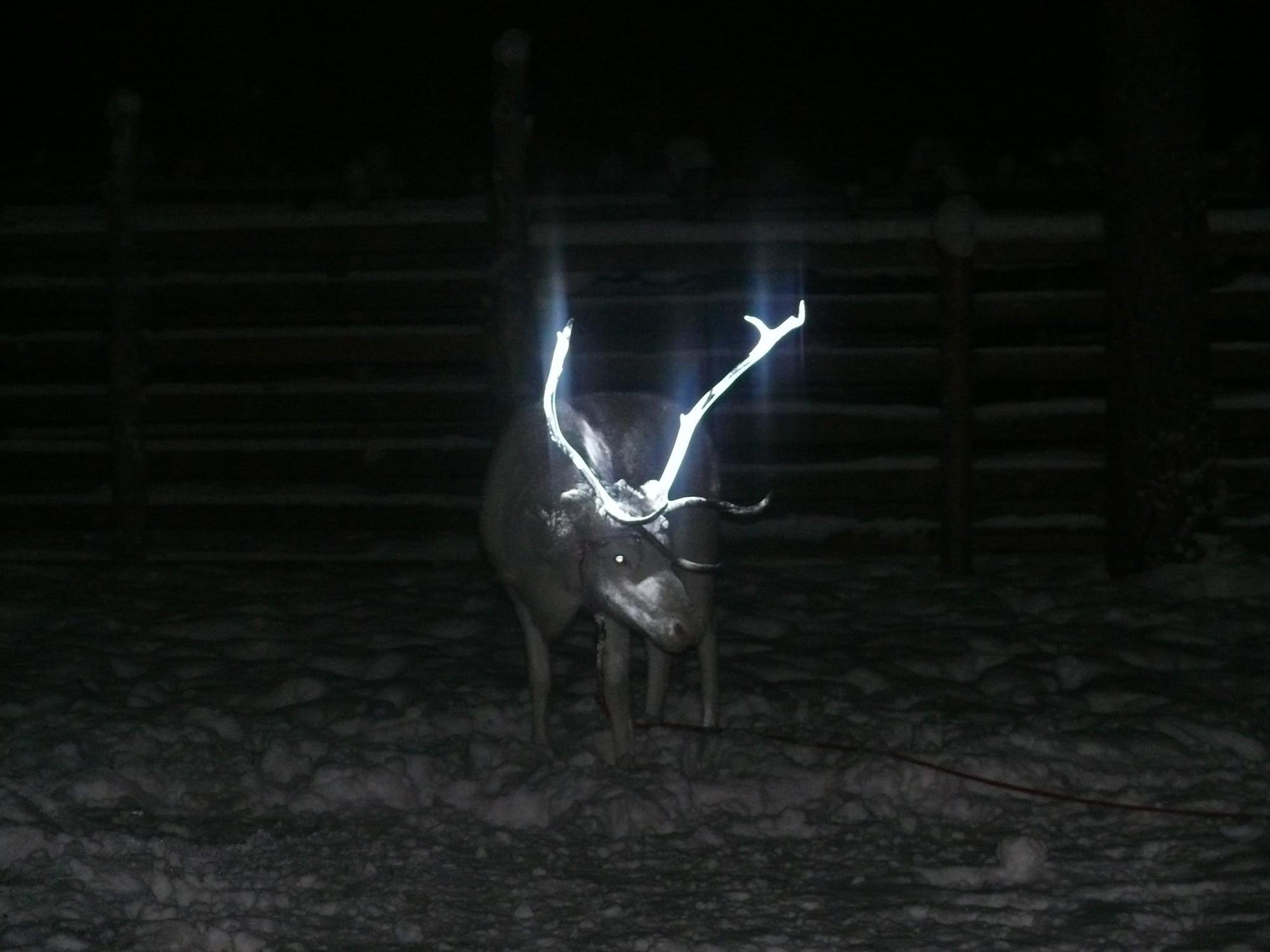 Tuần lộc ở quê hương ông già Noel có sừng phát sáng rực rỡ trong đêm và đây là lý do tại sao - Ảnh 4.
