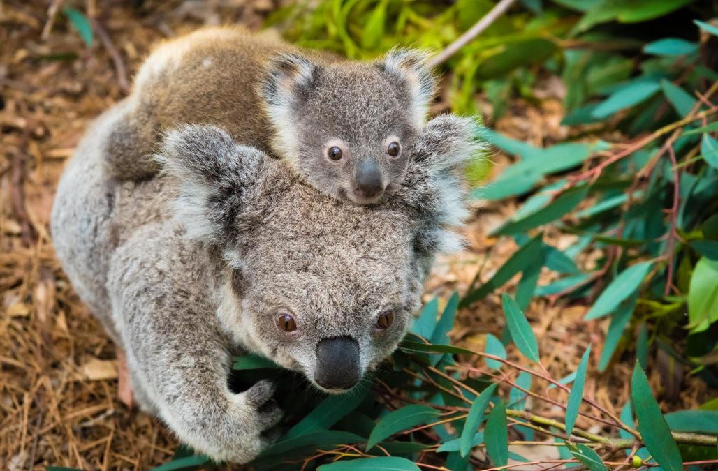 Khoa học tuyên bố gấu koala chính thức tuyệt chủng về chức năng nhưng điều đó có ý nghĩa gì? - Ảnh 3.
