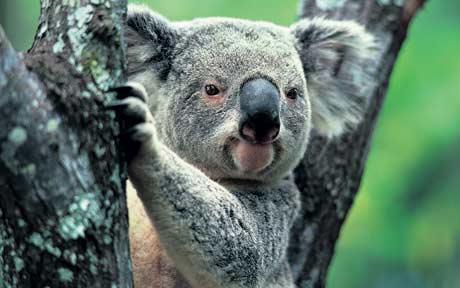 Khoa học tuyên bố gấu koala chính thức tuyệt chủng về chức năng nhưng điều đó có ý nghĩa gì? - Ảnh 2.