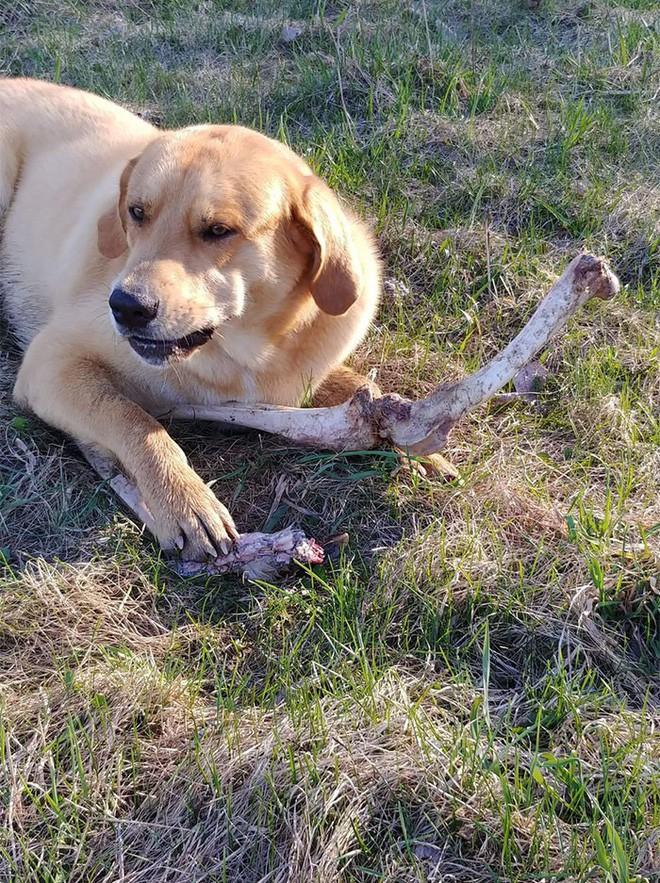 Canada: Bắt quả tang gấu hối lộ xương cho chó để vào nhà dân bới thùng rác - Ảnh 3.