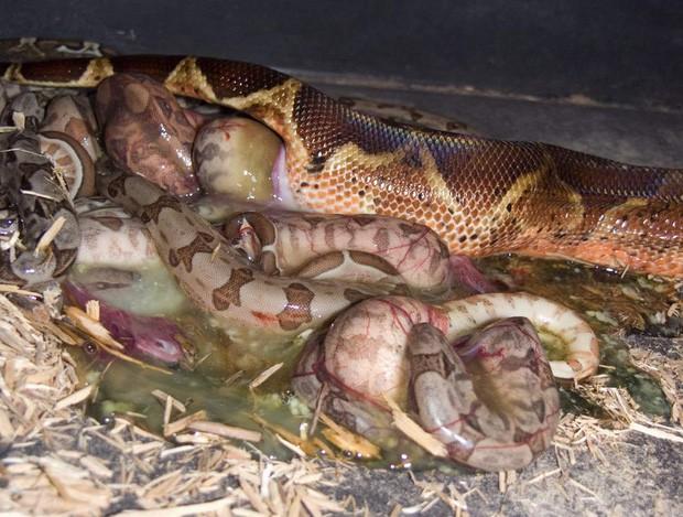 Giải mã bí ẩn trăn Anaconda khổng lồ trong sở thú bỗng dưng đẻ con dù cả đời chẳng biết đến mùi trai là gì - Ảnh 1.