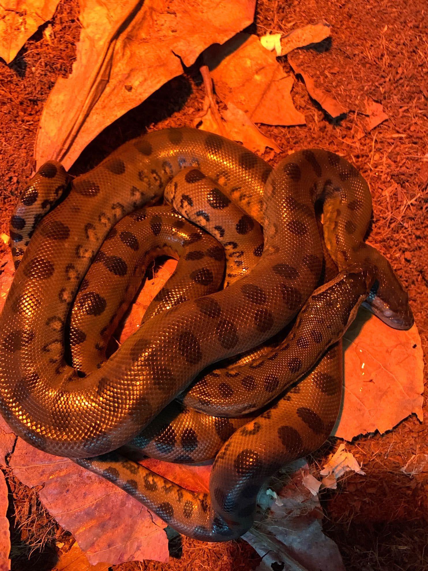 Giải mã bí ẩn trăn Anaconda khổng lồ trong sở thú bỗng dưng đẻ con dù cả đời chẳng biết đến mùi trai là gì - Ảnh 2.