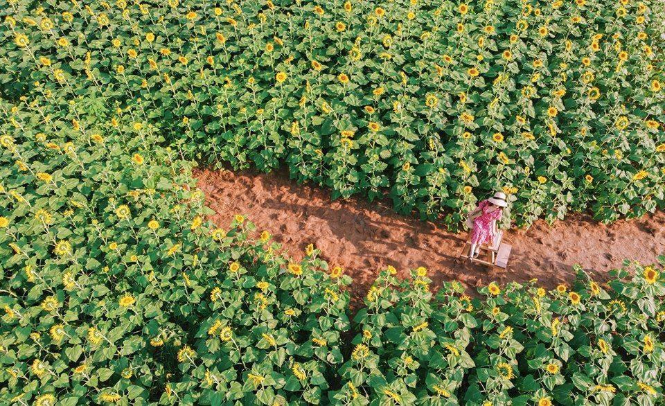 """Lướt mỏi tay loạt ảnh check-in """"thật là vàng tươi"""" của giới trẻ ở vườn hoa hướng dương mới xuất hiện ngay gần Hà Nội, không đi nhanh kẻo phí cả mùa hè - Ảnh 1."""