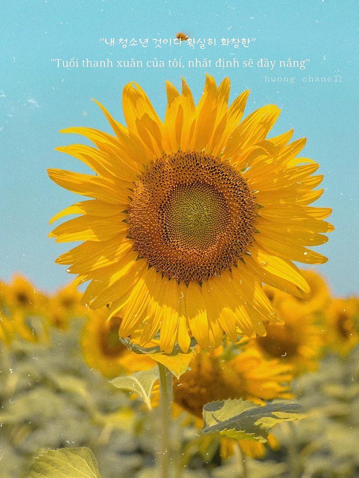 """Lướt mỏi tay loạt ảnh check-in """"thật là vàng tươi"""" của giới trẻ ở vườn hoa hướng dương mới xuất hiện ngay gần Hà Nội, không đi nhanh kẻo phí cả mùa hè - Ảnh 11."""
