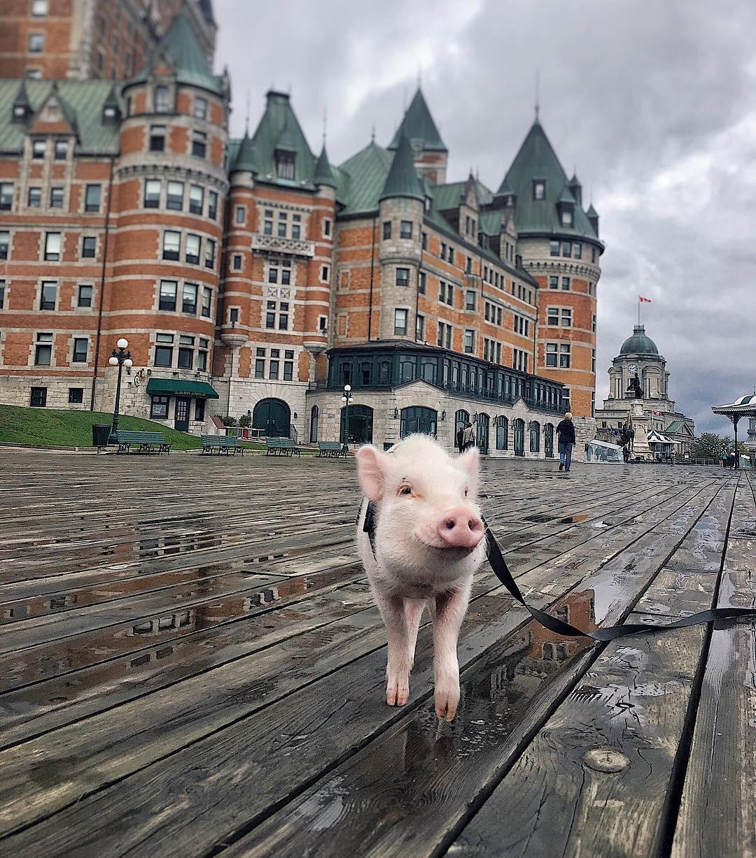 Cảm giác ghen tị là khi bạn phải đi làm vào thứ 2 còn chú lợn này lại được du lịch vòng quanh thế giới - Ảnh 1.