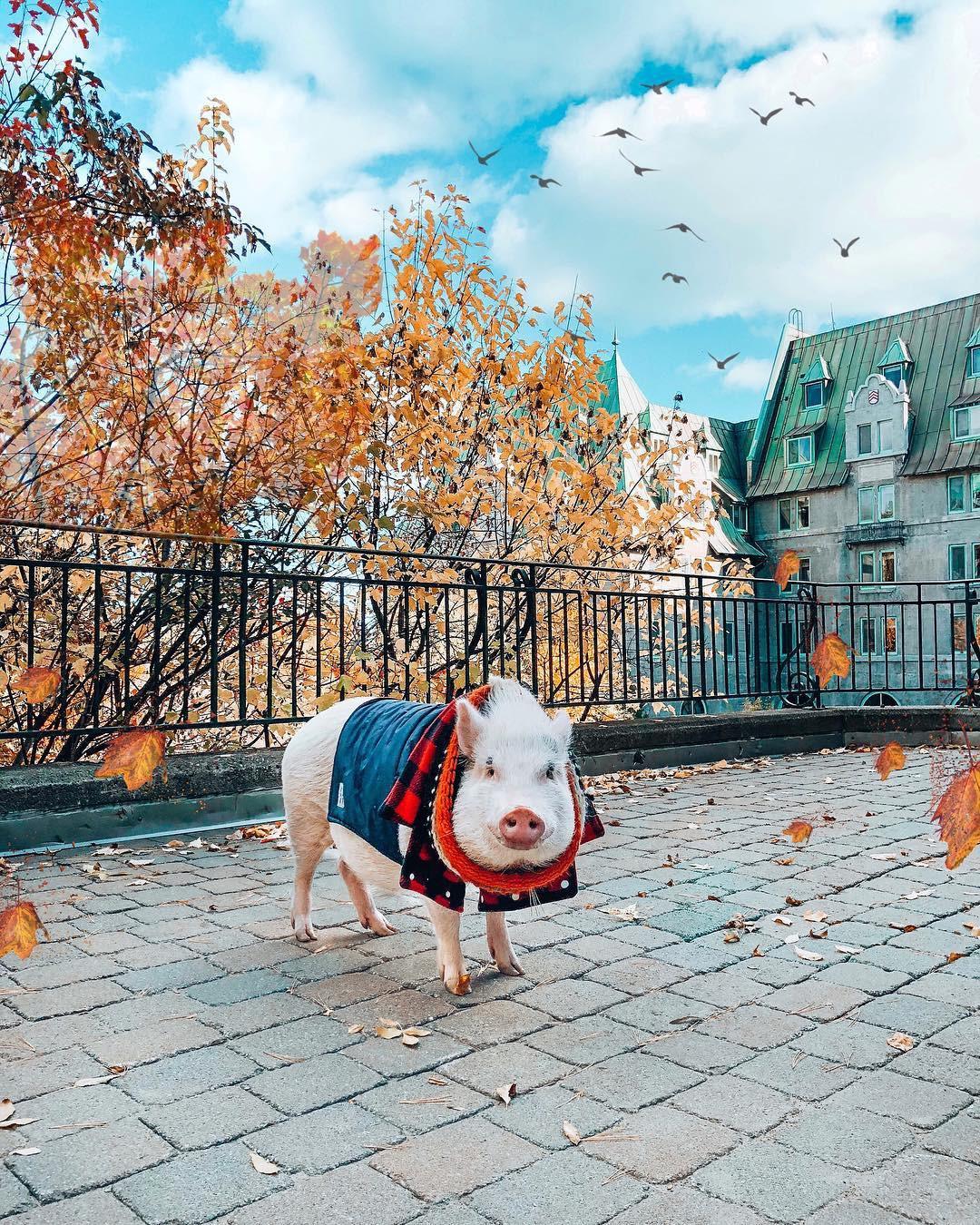 Cảm giác ghen tị là khi bạn phải đi làm vào thứ 2 còn chú lợn này lại được du lịch vòng quanh thế giới - Ảnh 13.