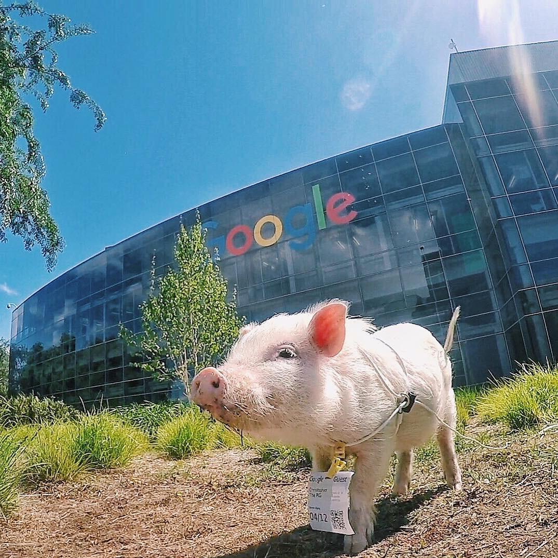 Cảm giác ghen tị là khi bạn phải đi làm vào thứ 2 còn chú lợn này lại được du lịch vòng quanh thế giới - Ảnh 2.