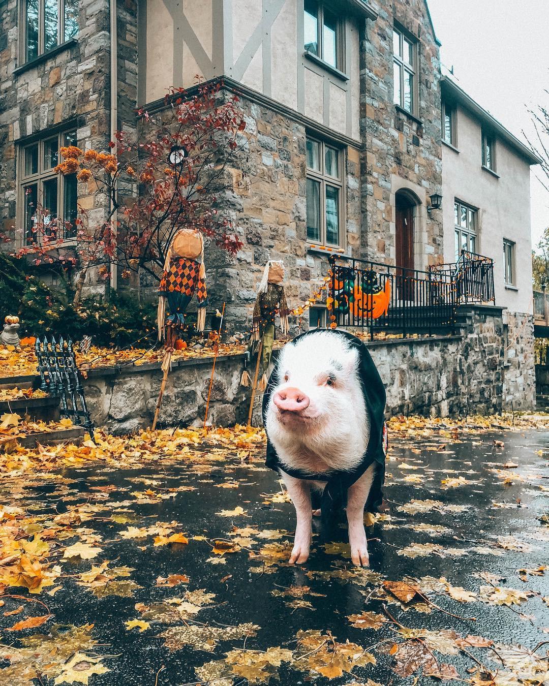 Cảm giác ghen tị là khi bạn phải đi làm vào thứ 2 còn chú lợn này lại được du lịch vòng quanh thế giới - Ảnh 9.