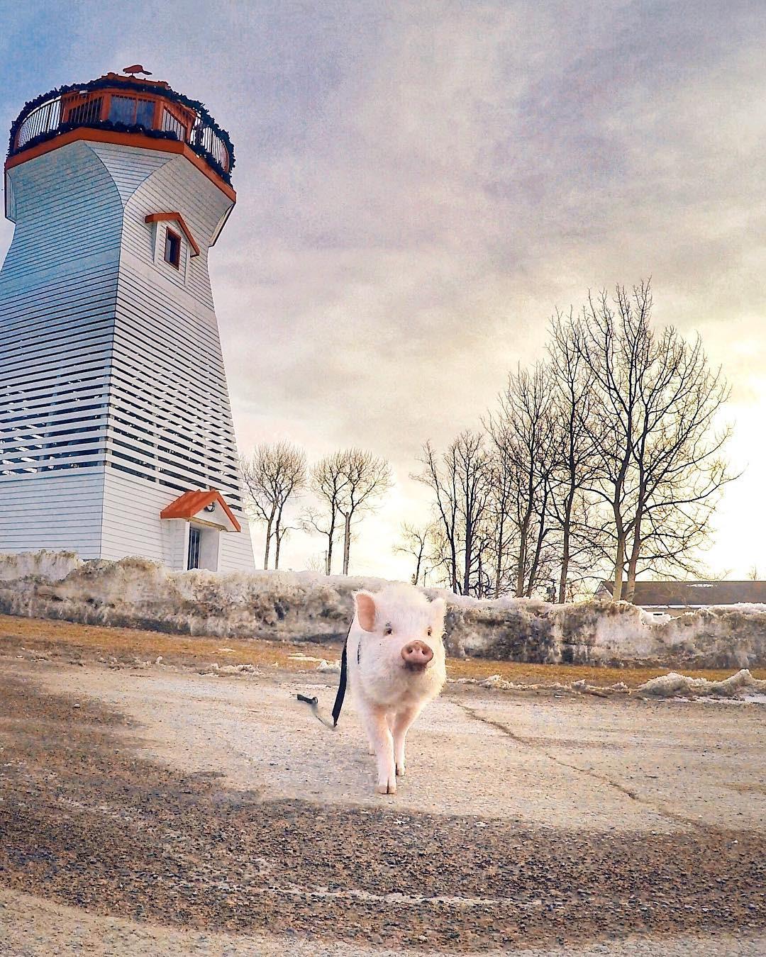 Cảm giác ghen tị là khi bạn phải đi làm vào thứ 2 còn chú lợn này lại được du lịch vòng quanh thế giới - Ảnh 3.