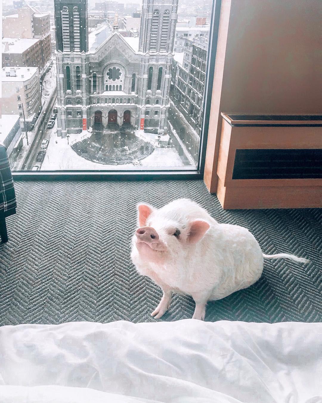 Cảm giác ghen tị là khi bạn phải đi làm vào thứ 2 còn chú lợn này lại được du lịch vòng quanh thế giới - Ảnh 14.