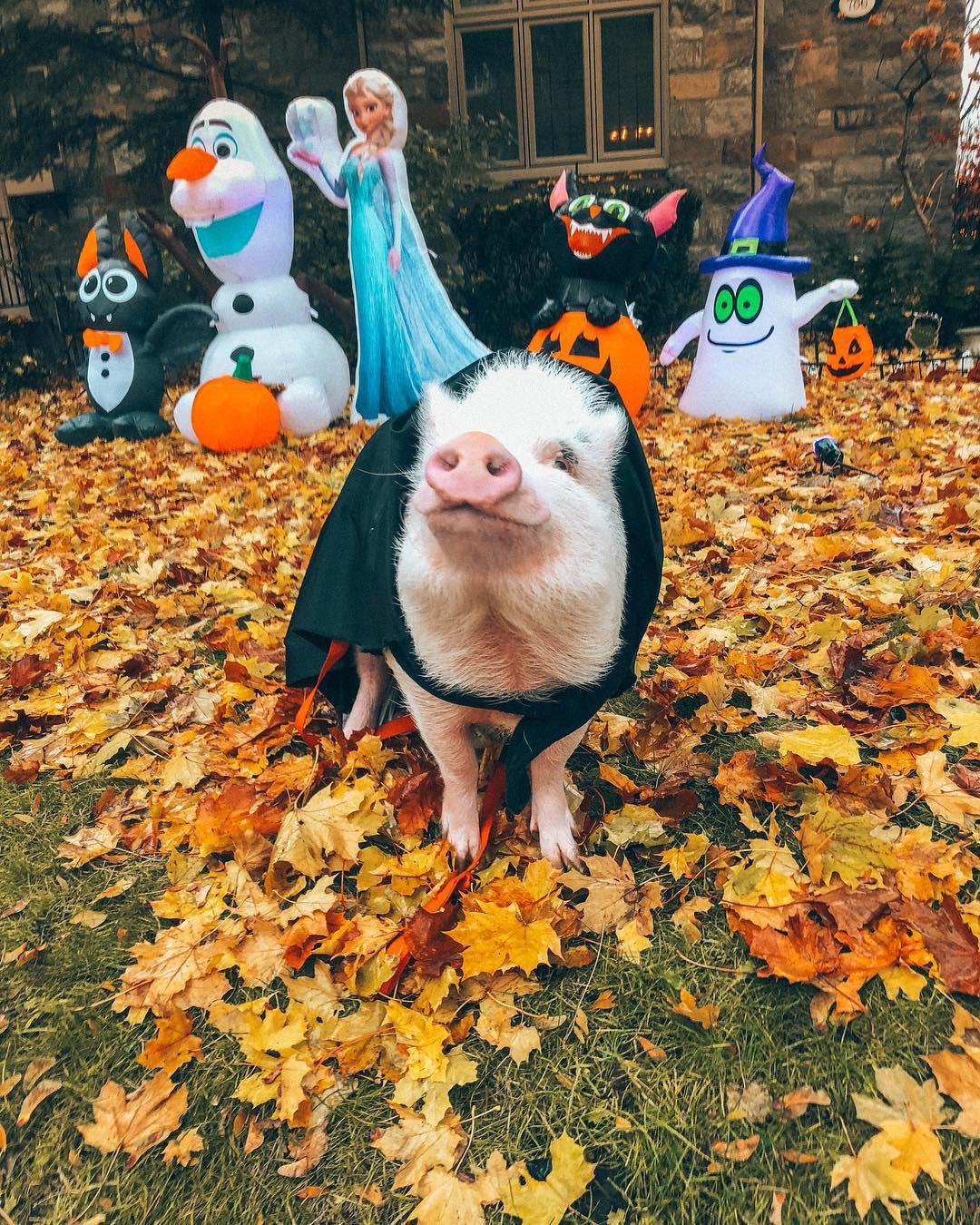 Cảm giác ghen tị là khi bạn phải đi làm vào thứ 2 còn chú lợn này lại được du lịch vòng quanh thế giới - Ảnh 12.
