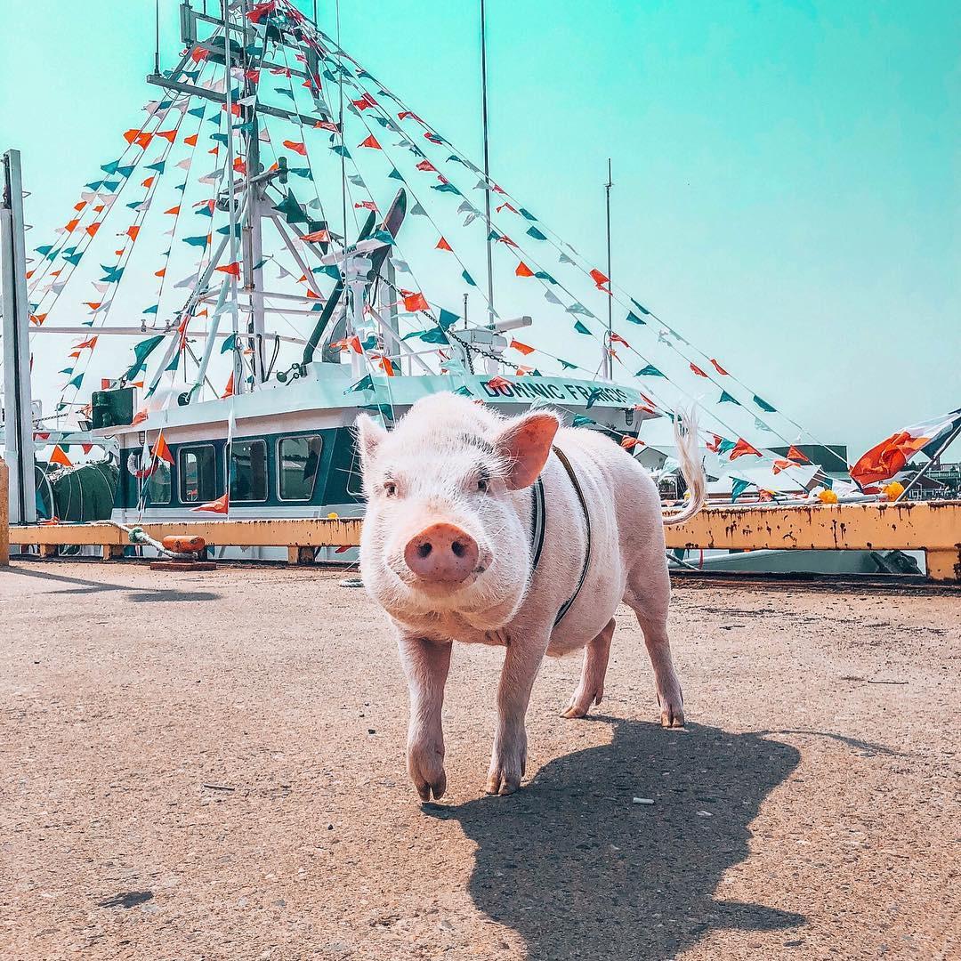 Cảm giác ghen tị là khi bạn phải đi làm vào thứ 2 còn chú lợn này lại được du lịch vòng quanh thế giới - Ảnh 8.