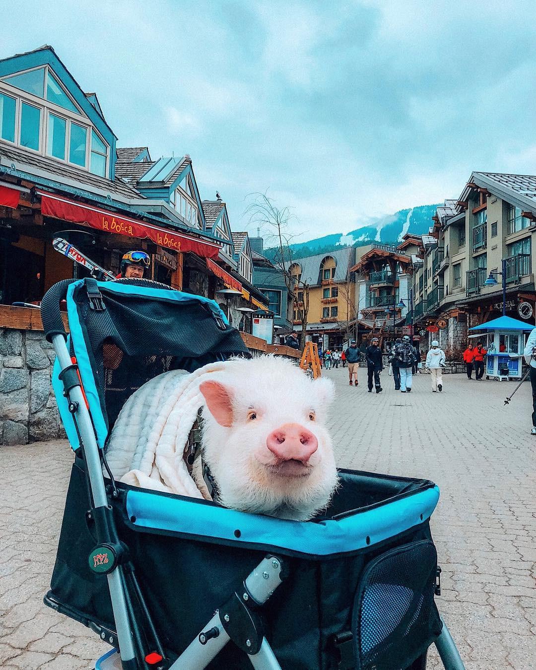 Cảm giác ghen tị là khi bạn phải đi làm vào thứ 2 còn chú lợn này lại được du lịch vòng quanh thế giới - Ảnh 5.