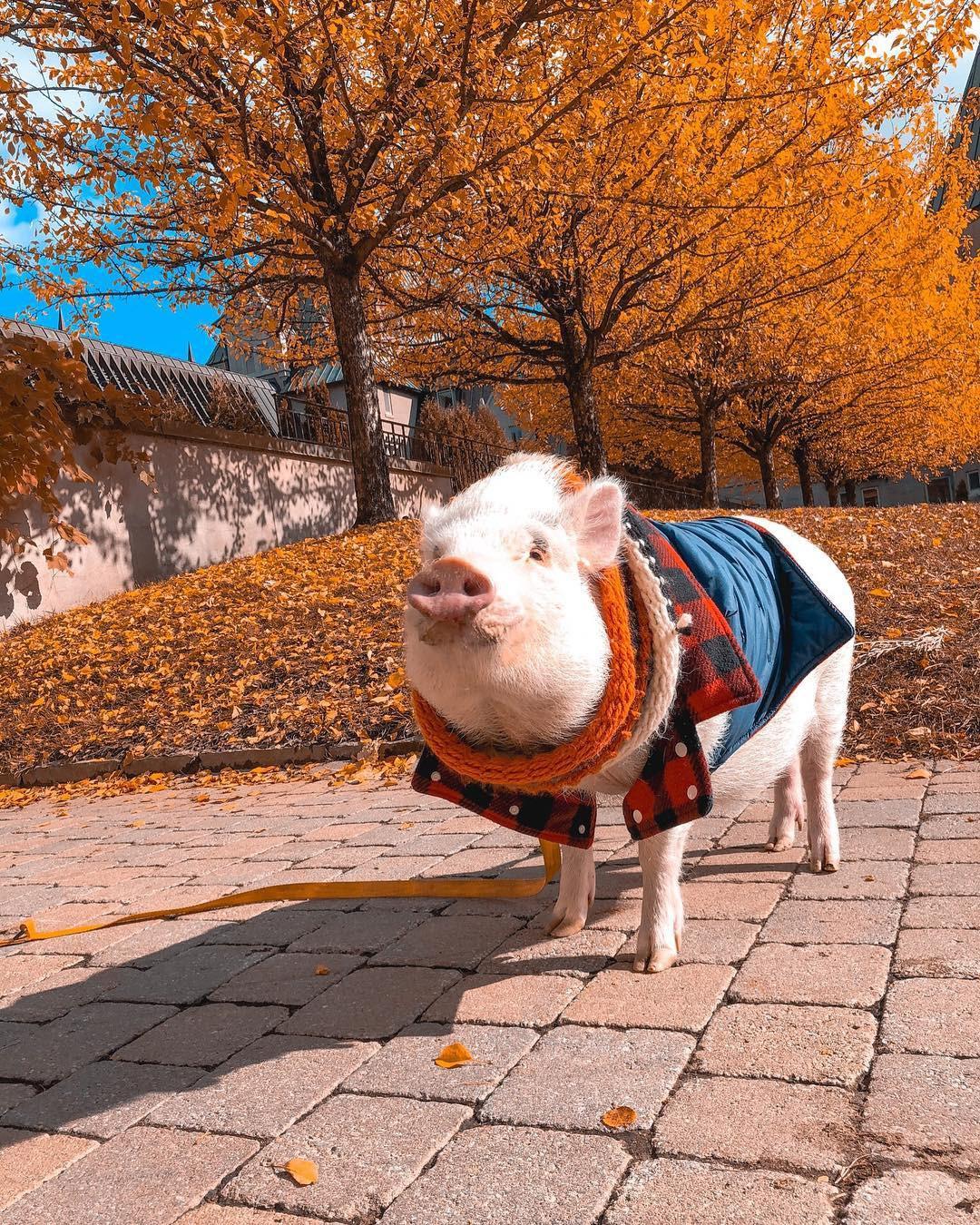 Cảm giác ghen tị là khi bạn phải đi làm vào thứ 2 còn chú lợn này lại được du lịch vòng quanh thế giới - Ảnh 10.