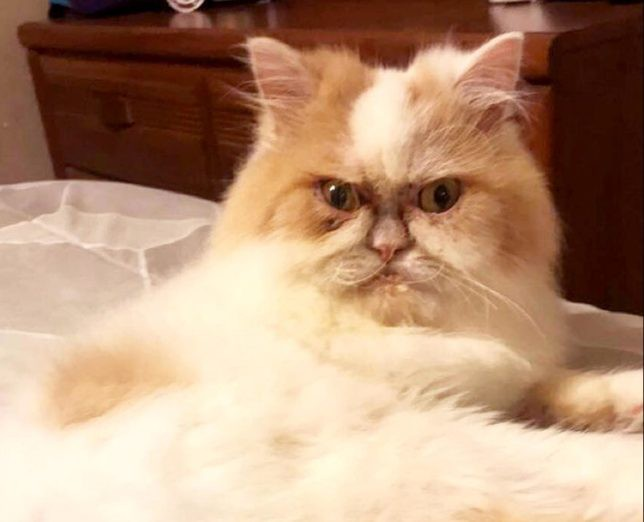 Mặt mũi lúc nào cũng khó ở, chú mèo Ba Tư được dân mạng thích thú tôn làm Grumpy Cat thế hệ mới - Ảnh 1.