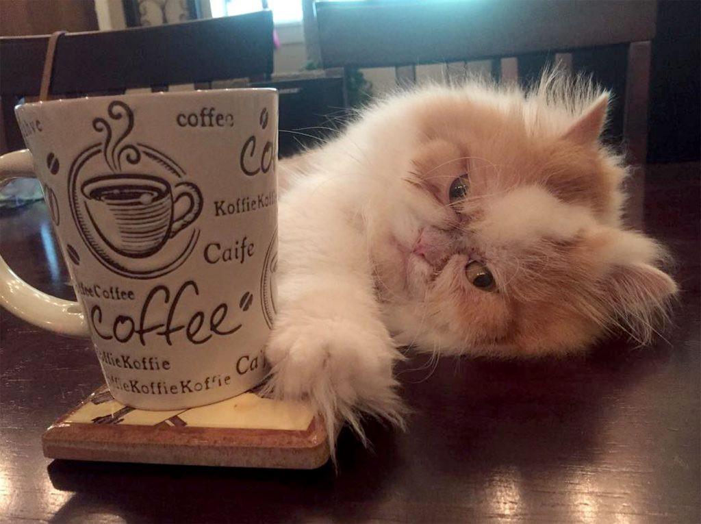 Mặt mũi lúc nào cũng khó ở, chú mèo Ba Tư được dân mạng thích thú tôn làm Grumpy Cat thế hệ mới - Ảnh 3.