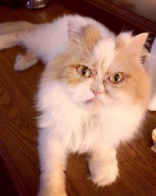 Mặt mũi lúc nào cũng khó ở, chú mèo Ba Tư được dân mạng thích thú tôn làm Grumpy Cat thế hệ mới - Ảnh 2.