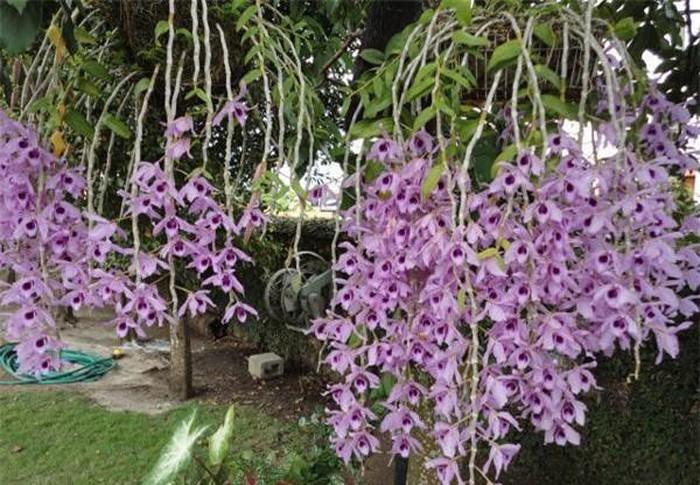 Khám phá bất ngờ loài lan phi điệp tím 'siêu hot' ở Việt Nam