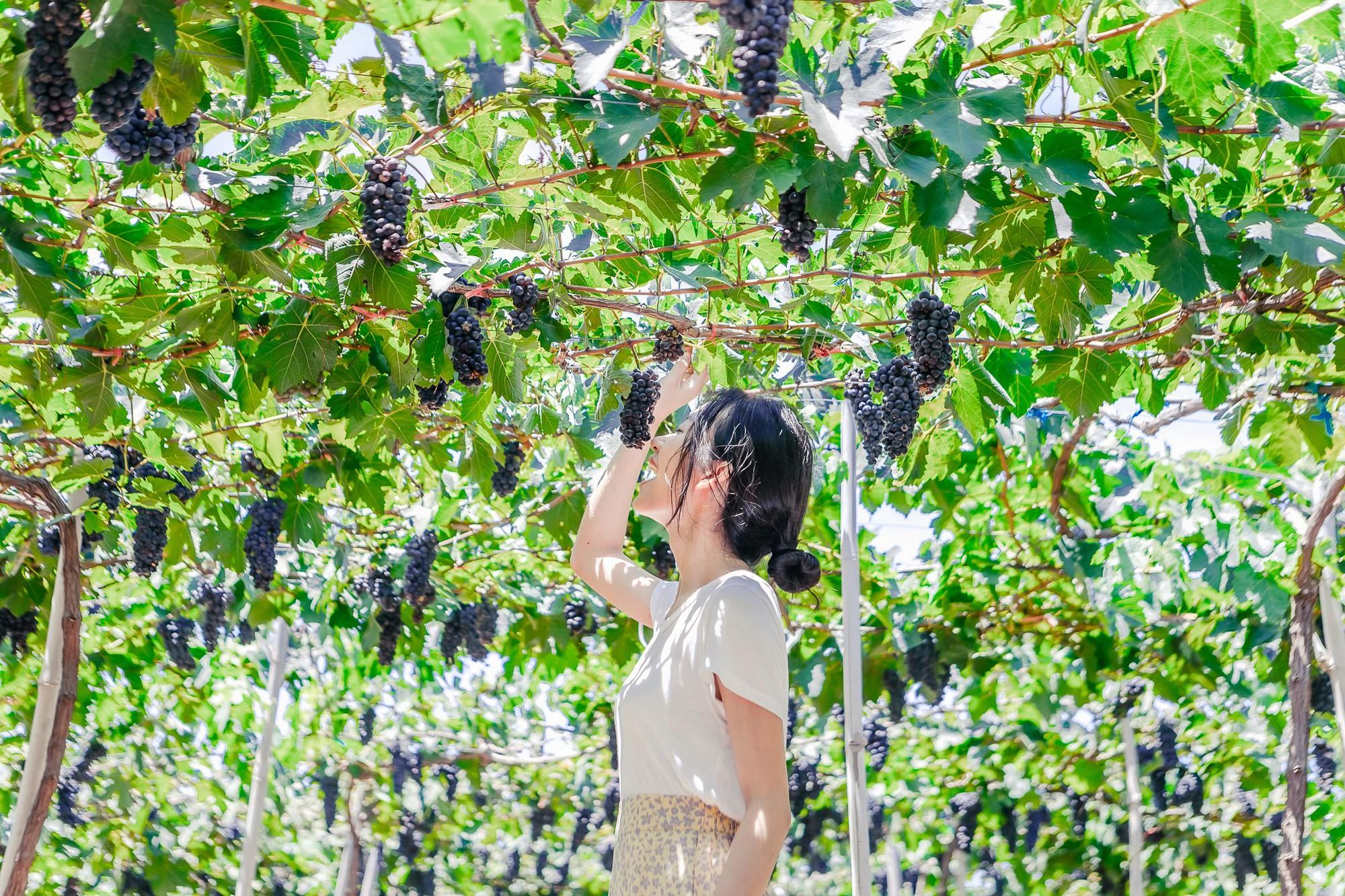 Cánh đồng quạt gió và vườn dâu Ba Mọi tại Ninh Thuận: Hai địa điểm check-in siêu to khổng lồ, lại còn miễn phí nữa chứ! - Ảnh 6.
