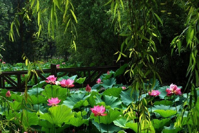Người dân Trung Quốc nín thở trước vẻ đẹp thanh khiết của những bông hoa sen có tuổi thọ hàng trăm năm ở Viên Minh Viên - Ảnh 4.