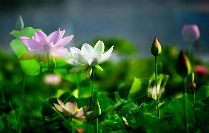 Người dân Trung Quốc nín thở trước vẻ đẹp thanh khiết của những bông hoa sen có tuổi thọ hàng trăm năm ở Viên Minh Viên - Ảnh 5.