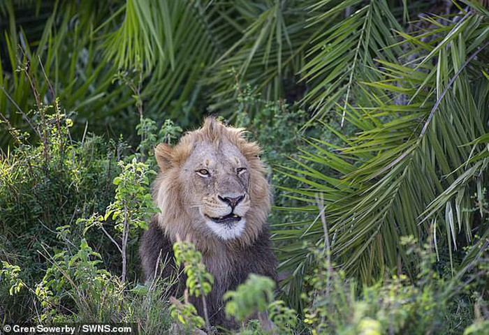 Hài hước sư tử 'cười đểu' khi nhiếp ảnh gia chụp trộm
