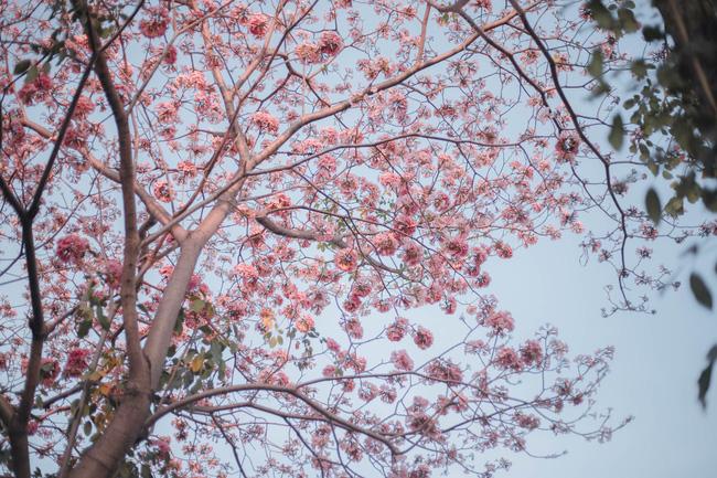 Hoa kèn hồng nở rộ ở giữa Sài Gòn, lại có chỗ để chụp ảnh sống ảo rồi các chị em ạ - Ảnh 1.