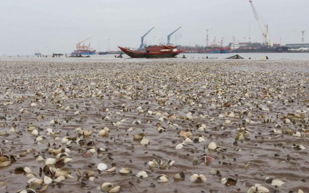 Ngao chết trắng bờ biển không rõ nguyên nhân, dân nuốt nước mắt nhặt vỏ đổ từng đống - Ảnh 14.