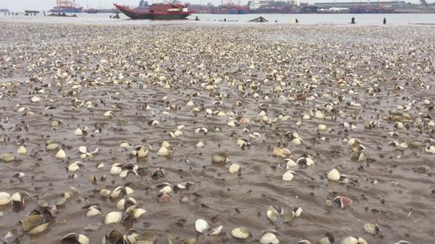 Ngao chết trắng bờ biển không rõ nguyên nhân, dân nuốt nước mắt nhặt vỏ đổ từng đống - Ảnh 2.