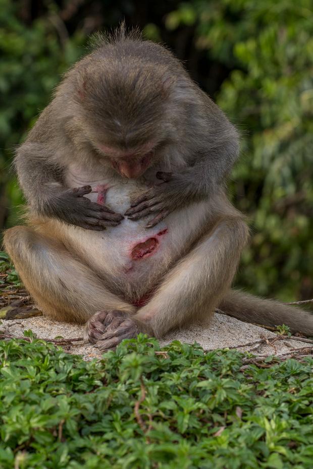Xót xa những con khỉ cụt tay chân, hở xương tại Sơn Trà: Bị bắn phá, biết chạy về đâu? - Ảnh 11.