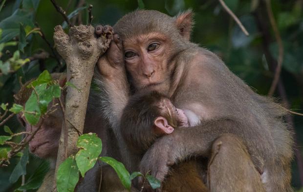 Xót xa những con khỉ cụt tay chân, hở xương tại Sơn Trà: Bị bắn phá, biết chạy về đâu? - Ảnh 10.