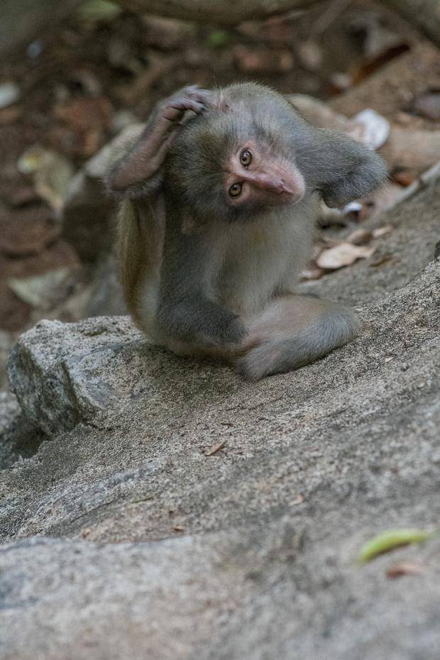 Xót xa những con khỉ cụt tay chân, hở xương tại Sơn Trà: Bị bắn phá, biết chạy về đâu? - Ảnh 1.